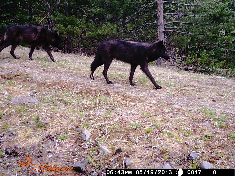 2013 spring bear hunt